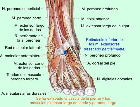 Patologias frecuentes de Tobillo y Pie - Salud y Bienestar - Taringa!